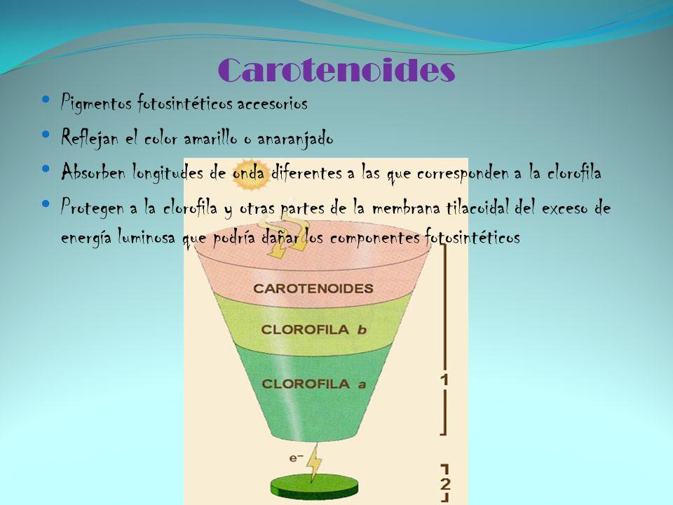 Carotenoides Pigmentos fotosintéticos accesorios