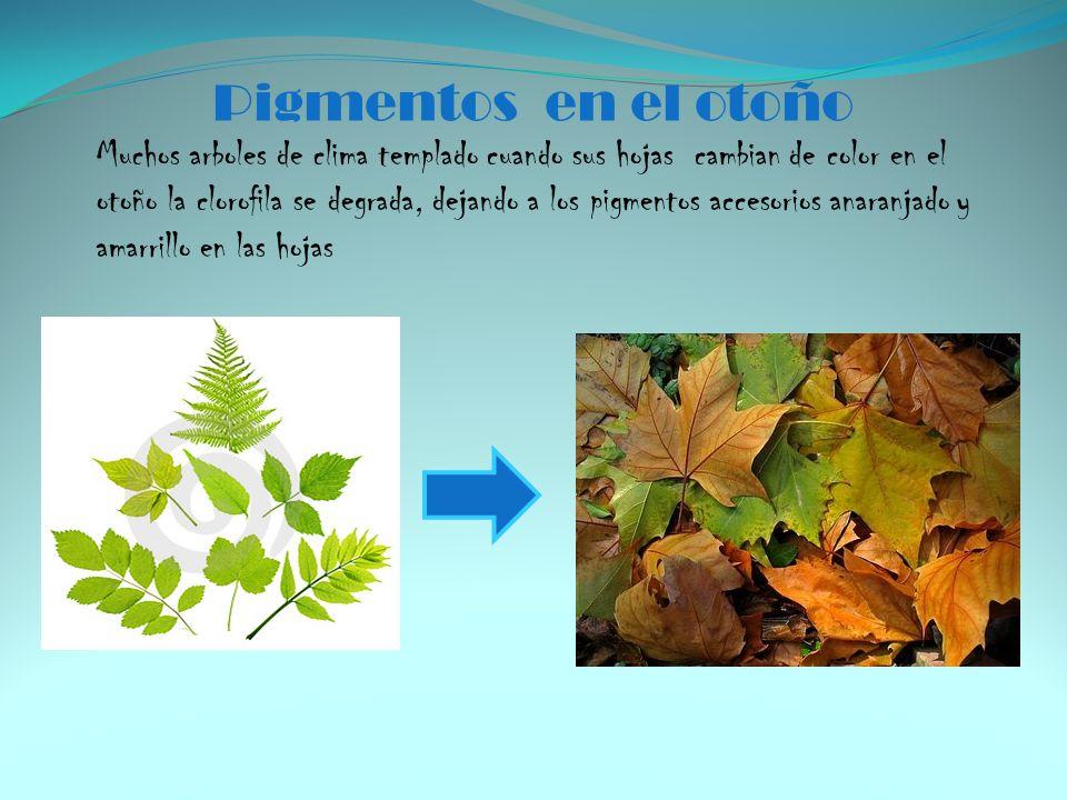 Pigmentos en el otoño