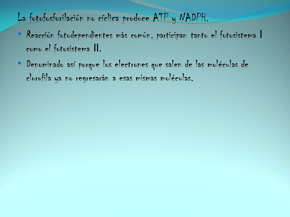 La fotofosforilación no cíclica produce ATP y NADPH.
