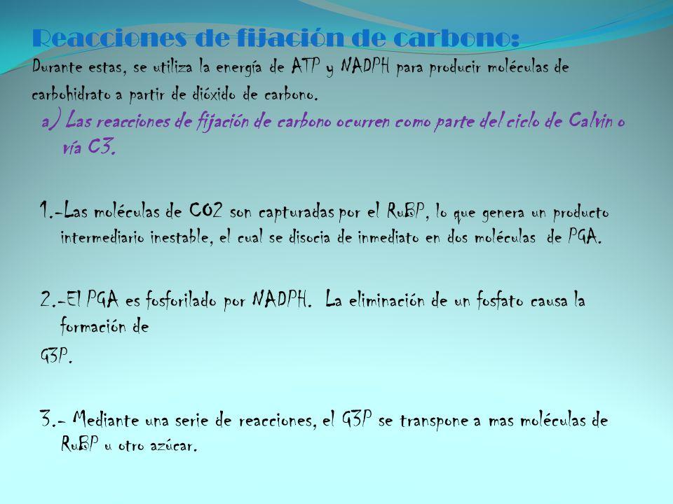 Reacciones de fijación de carbono: Durante estas, se utiliza la energía de ATP y NADPH para producir moléculas de carbohidrato a partir de dióxido de carbono.