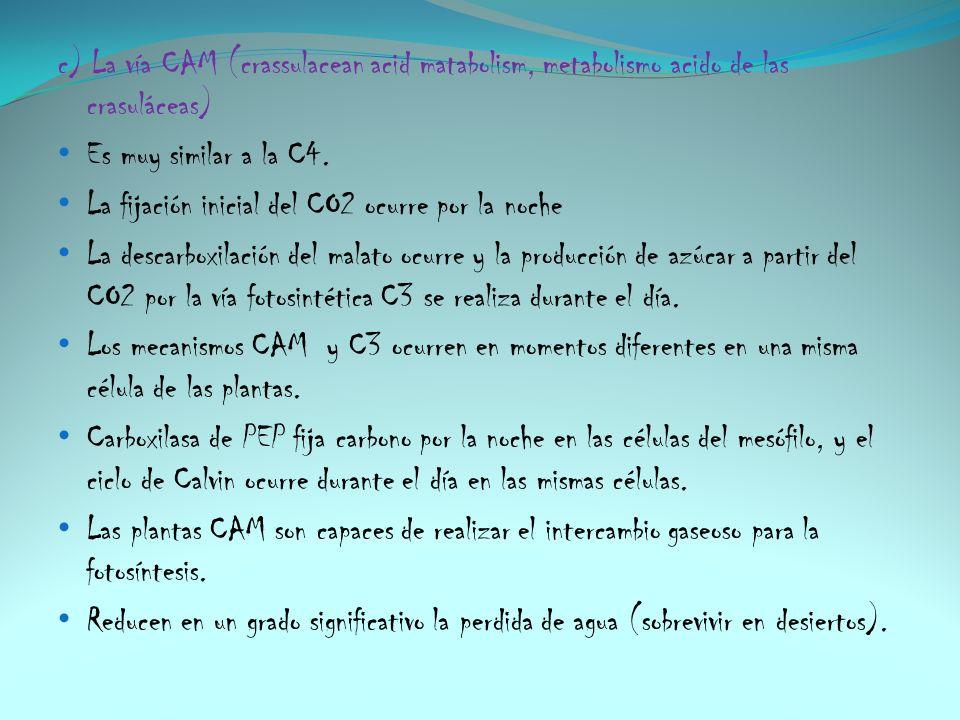 c) La vía CAM (crassulacean acid matabolism, metabolismo acido de las crasuláceas)