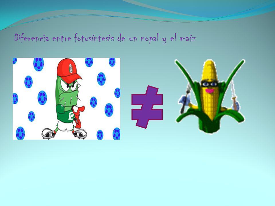 Diferencia entre fotosíntesis de un nopal y el maíz