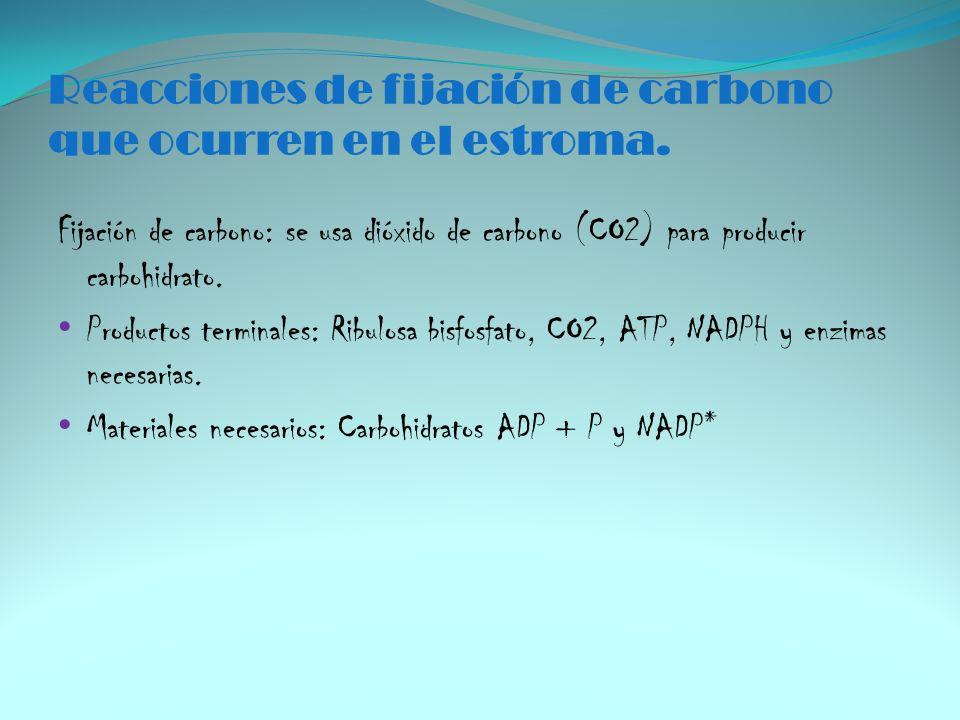 Reacciones de fijación de carbono que ocurren en el estroma.