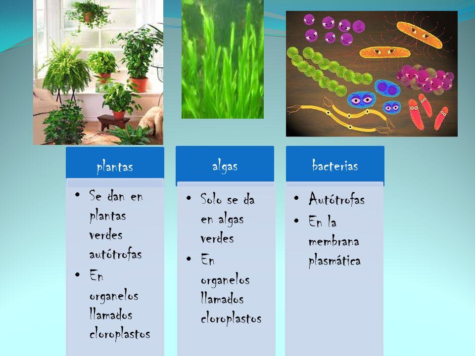 plantas Se dan en plantas verdes autótrofas. En organelos llamados cloroplastos. algas. Solo se da en algas verdes.