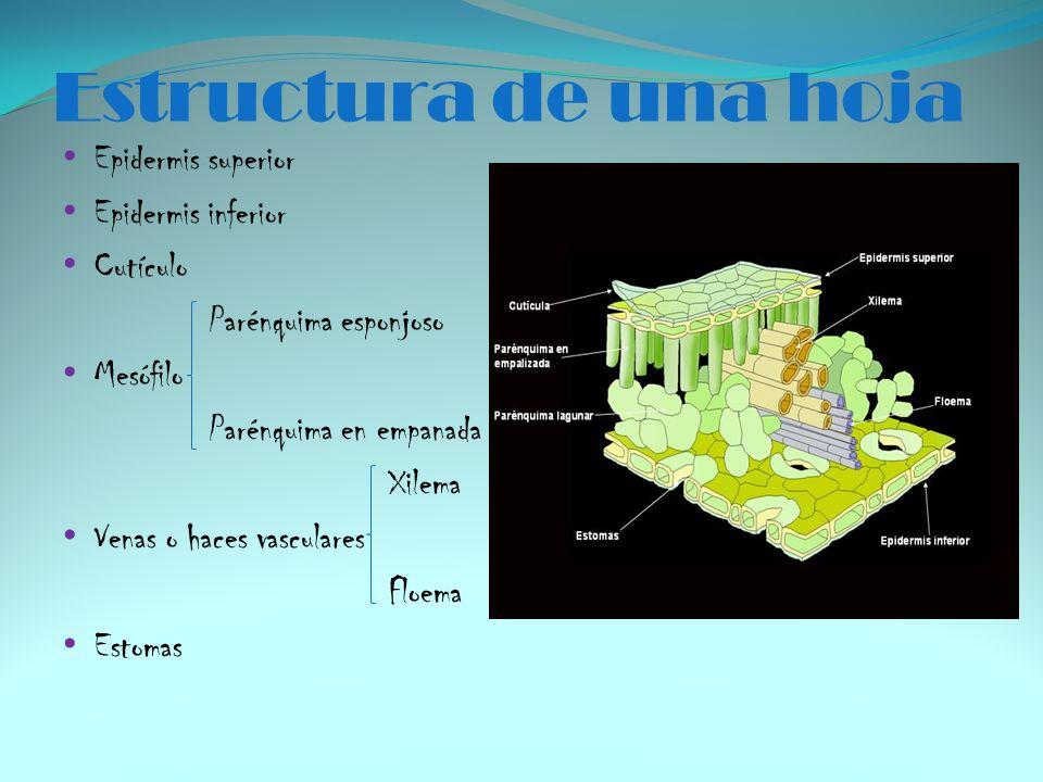 Estructura de una hoja Epidermis superior Epidermis inferior Cutículo