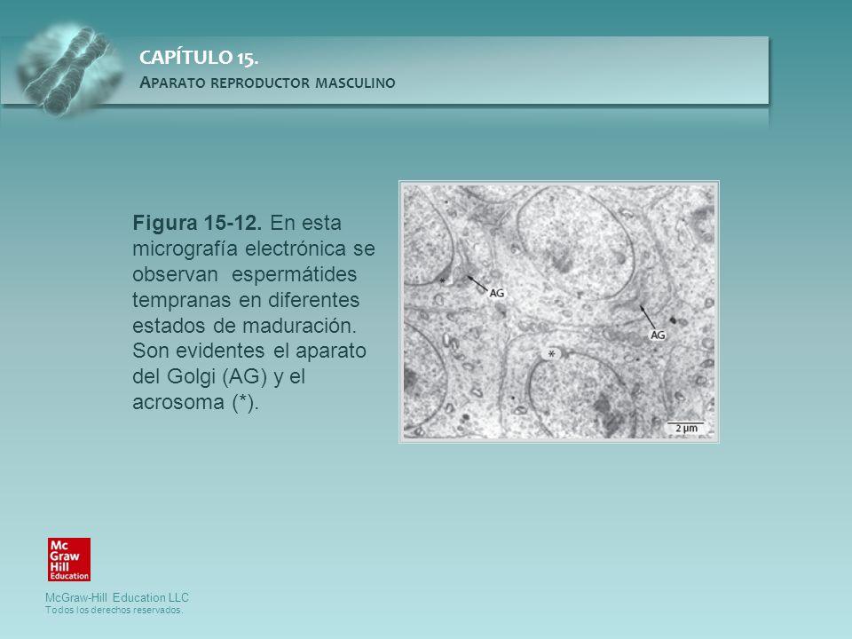 Figura 15-12. En esta micrografía electrónica se observan espermátides