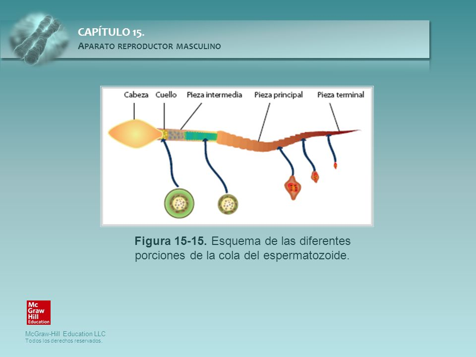 Figura 15-15. Esquema de las diferentes porciones de la cola del espermatozoide.