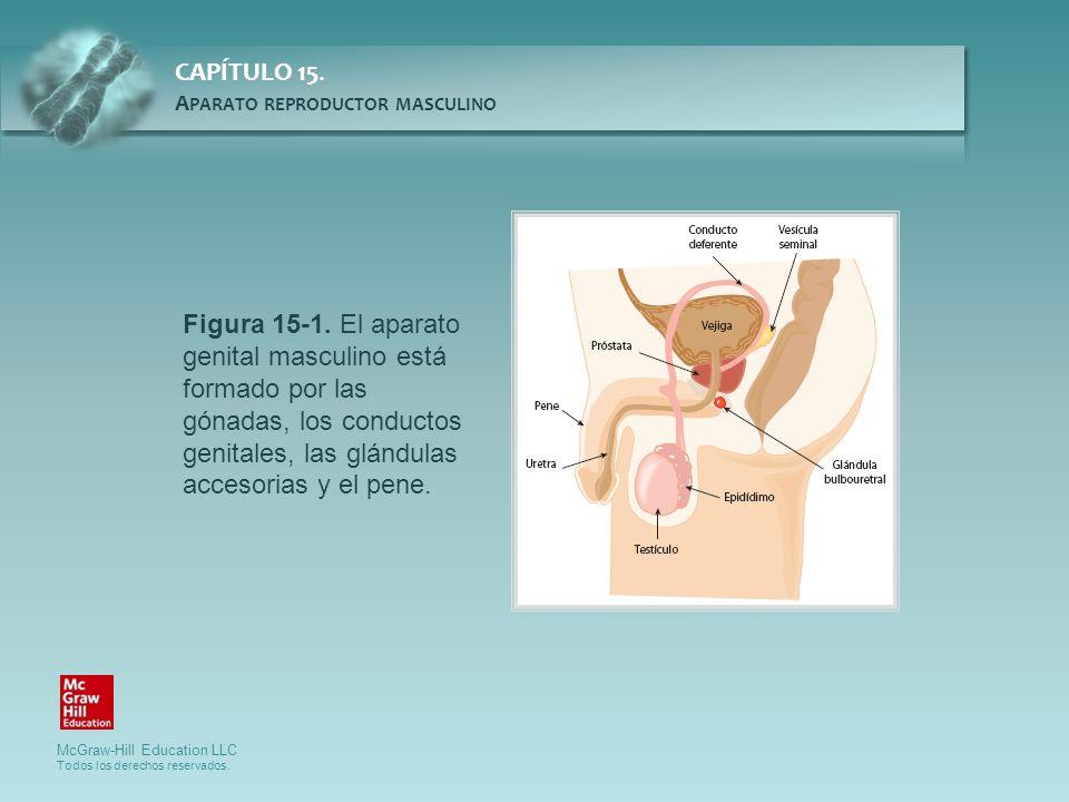 Figura 15-1. El aparato genital masculino está formado por las