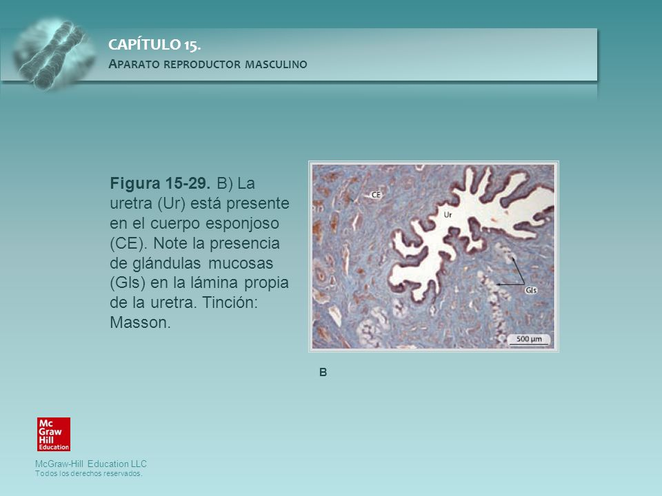 Figura 15-29. B) La uretra (Ur) está presente en el cuerpo esponjoso (CE). Note la presencia de glándulas mucosas (Gls) en la lámina propia de la uretra. Tinción: Masson.