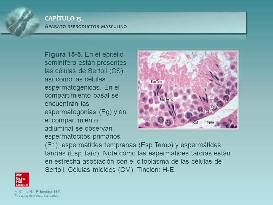 Figura 15-5. En el epitelio seminífero están presentes las células de Sertoli (CS), así como las células espermatogénicas. En el compartimiento basal se encuentran las espermatogonias (Eg) y en el compartimiento adluminal se observan espermatocitos primarios