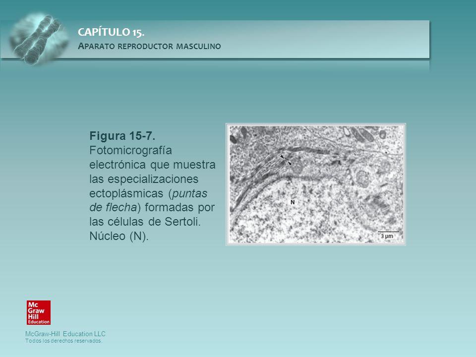 Figura 15-7. Fotomicrografía electrónica que muestra las especializaciones