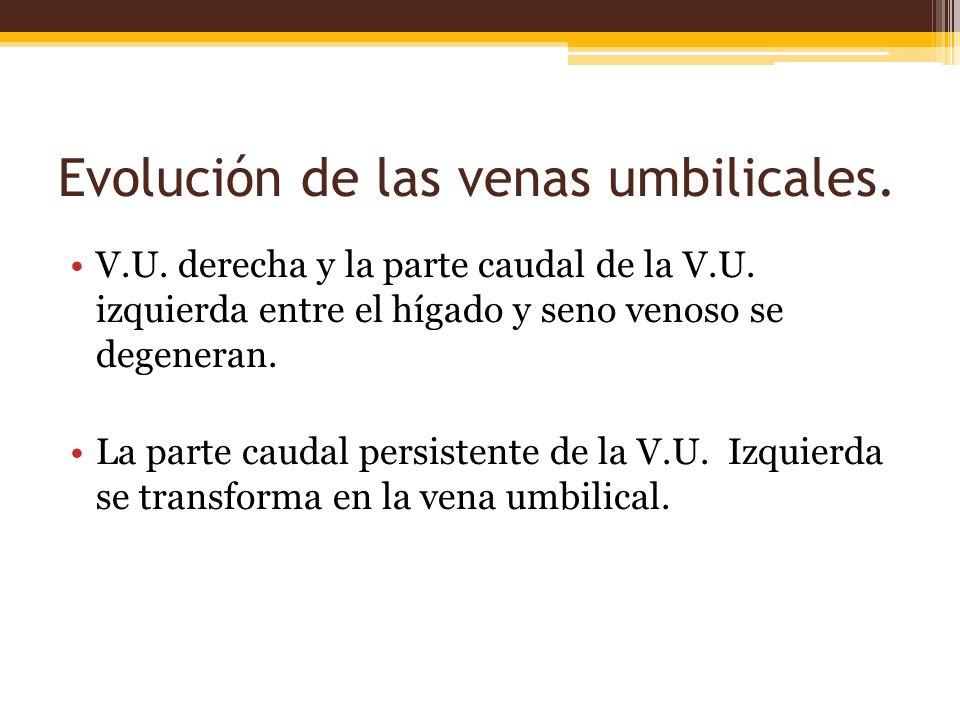Evolución de las venas umbilicales.
