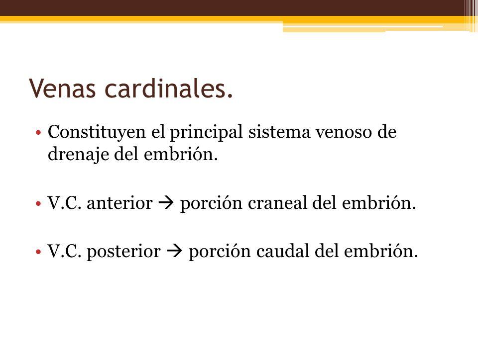 Venas cardinales. Constituyen el principal sistema venoso de drenaje del embrión. V.C. anterior  porción craneal del embrión.