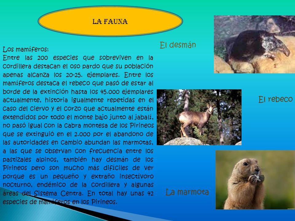 LA FAUNA El desmán El rebeco La marmota Los mamíferos: