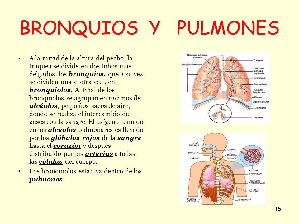 BRONQUIOS Y PULMONES