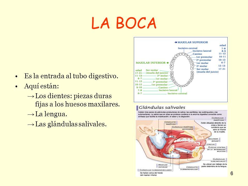 LA BOCA Es la entrada al tubo digestivo. Aquí están: