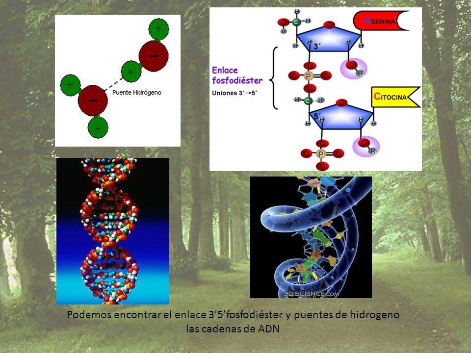 Podemos encontrar el enlace 3'5'fosfodiéster y puentes de hidrogeno