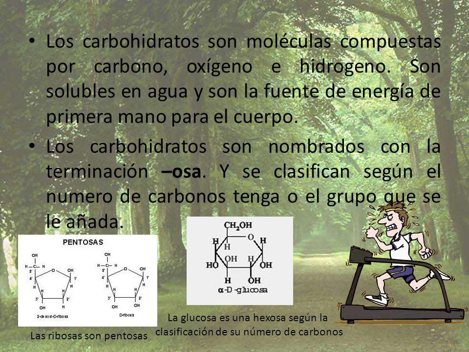 Los carbohidratos son moléculas compuestas por carbono, oxígeno e hidrogeno. Son solubles en agua y son la fuente de energía de primera mano para el cuerpo.