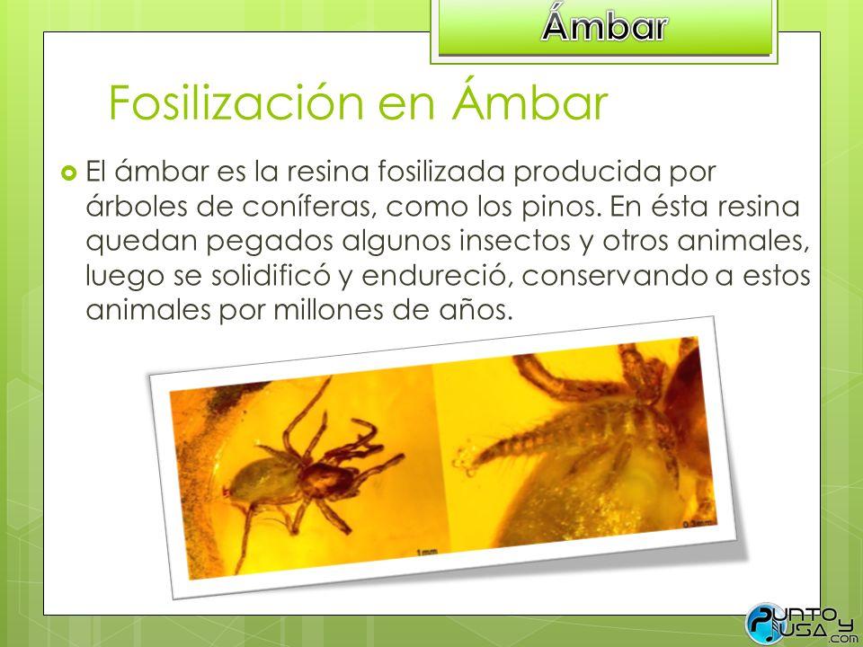 Fosilización en Ámbar Ámbar