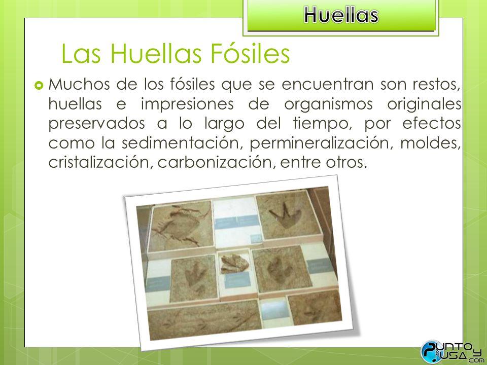 Las Huellas Fósiles Huellas