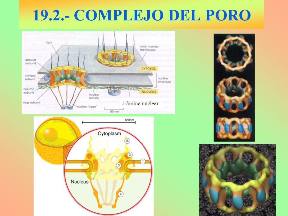 19.2.- COMPLEJO DEL PORO Lámina nuclear