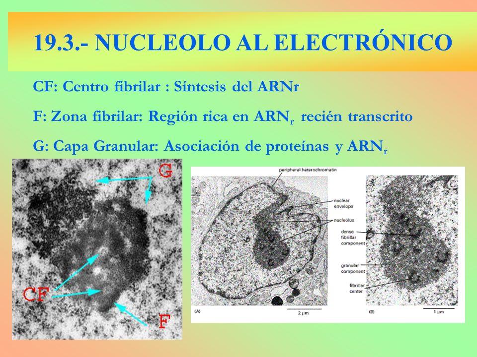 19.3.- NUCLEOLO AL ELECTRÓNICO