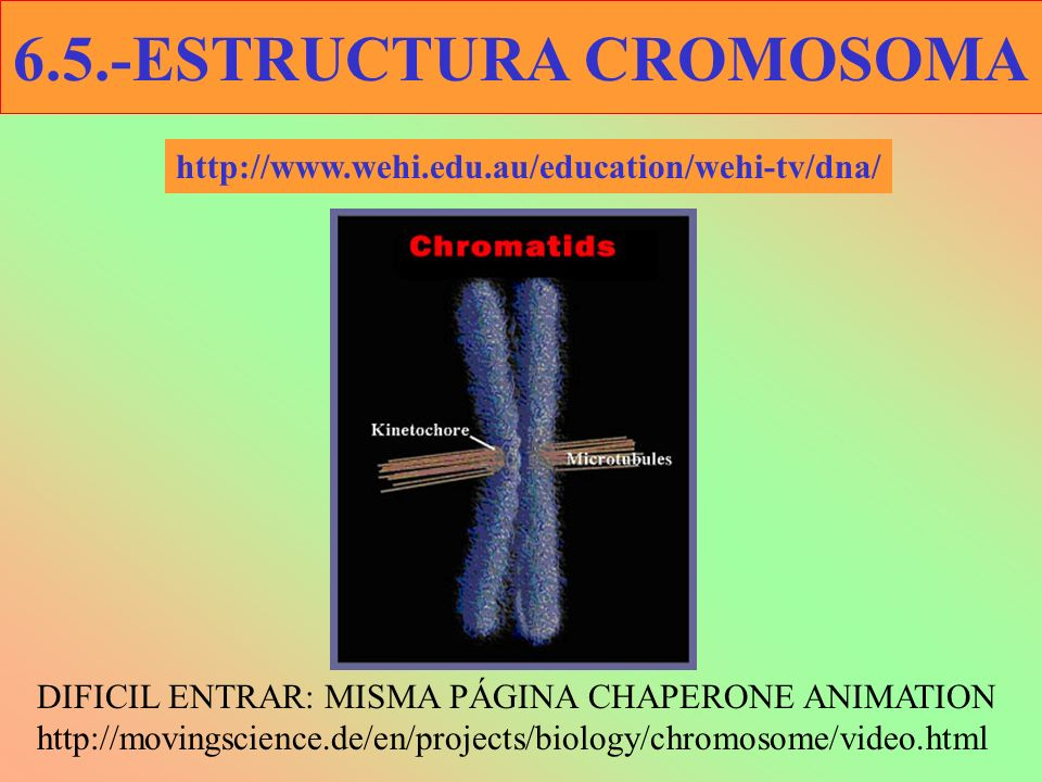 6.5.-ESTRUCTURA CROMOSOMA