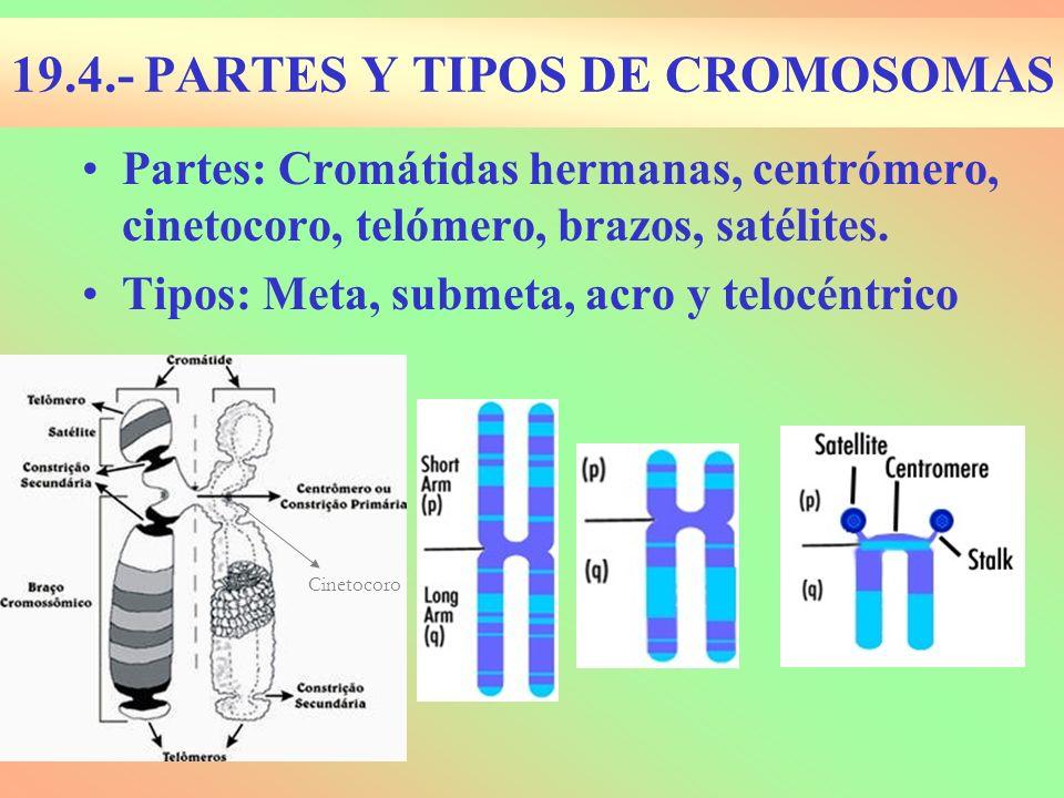 19.4.- PARTES Y TIPOS DE CROMOSOMAS