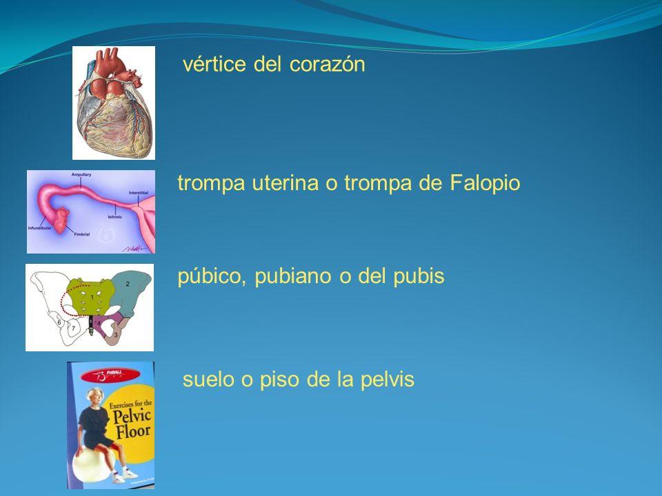 vértice del corazón trompa uterina o trompa de Falopio.