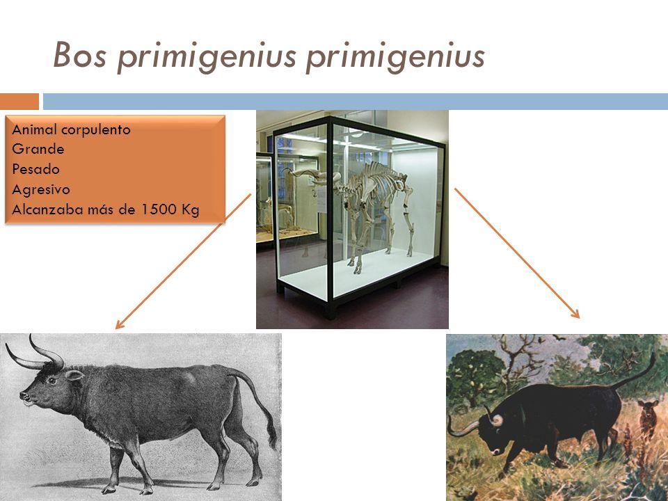 Bos primigenius primigenius