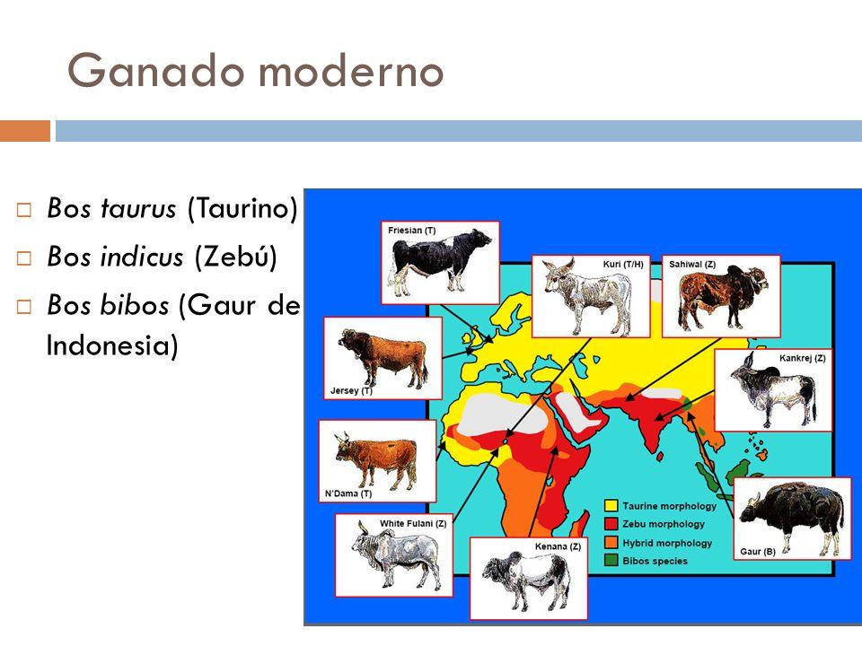 Ganado moderno Bos taurus (Taurino) Bos indicus (Zebú)