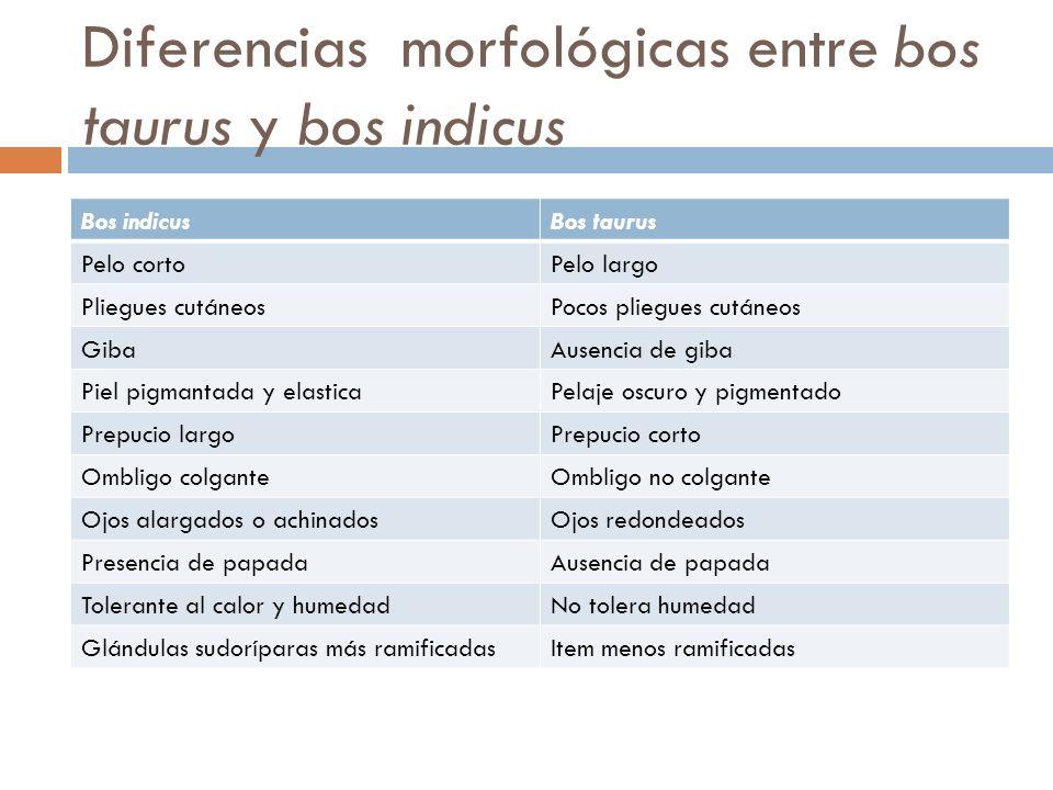 Diferencias morfológicas entre bos taurus y bos indicus