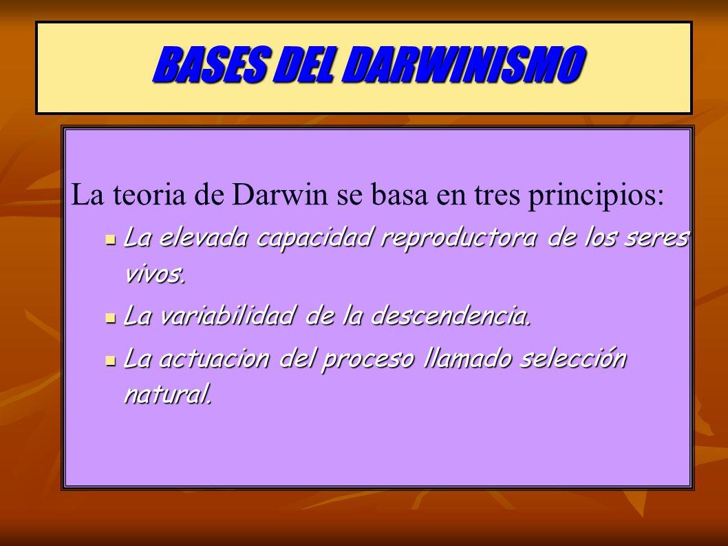 BASES DEL DARWINISMO La teoria de Darwin se basa en tres principios: