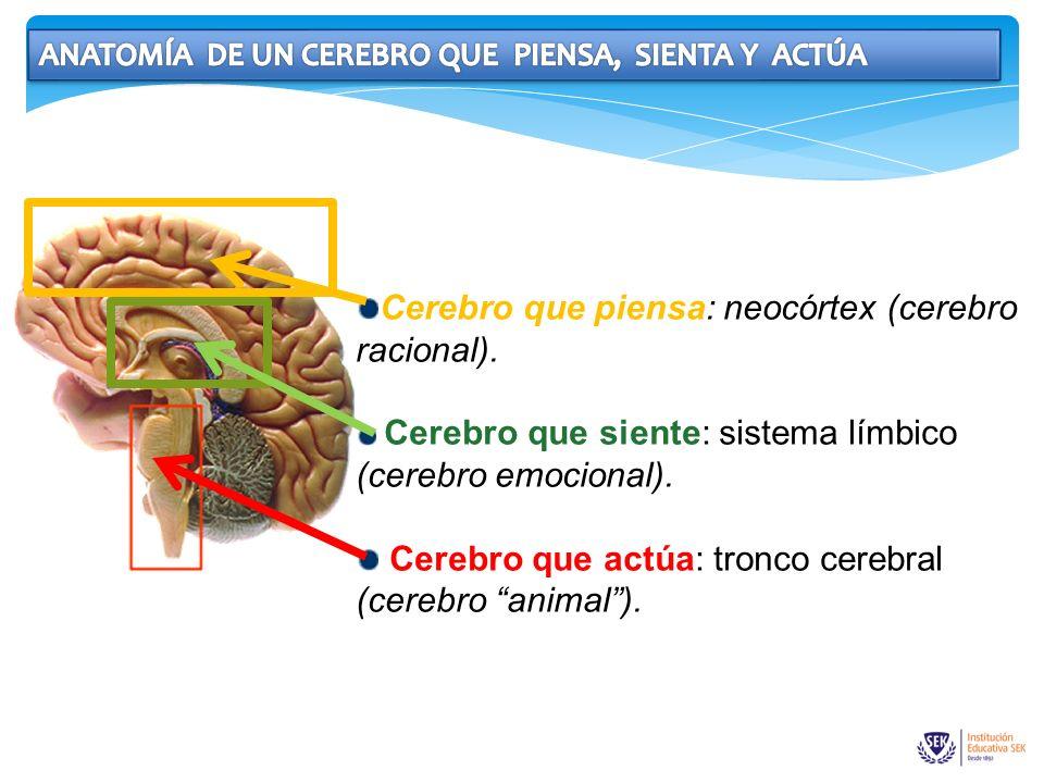 Cerebro que piensa: neocórtex (cerebro racional).