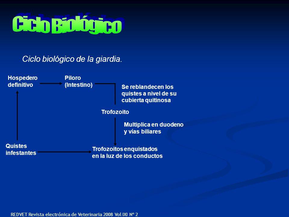 Ciclo Biológico Ciclo biológico de la giardia. Hospedero definitivo