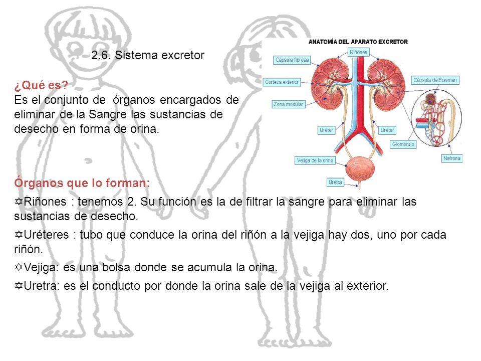 El cuerpo humano 2.6. Sistema excretor ¿Qué es