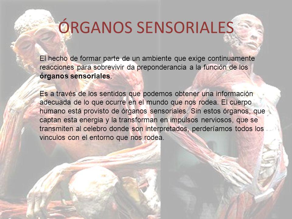 ÓRGANOS SENSORIALES