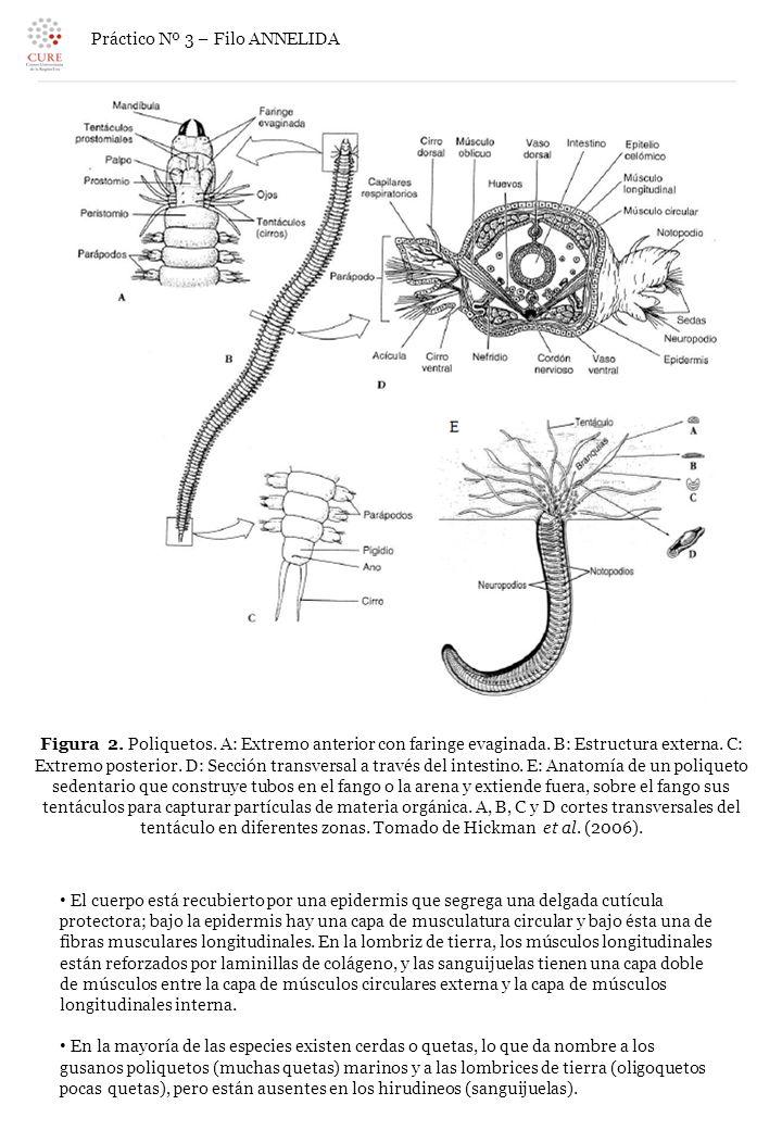 Contemporáneo Anatomía Lombriz De Tierra Interna Galería - Anatomía ...