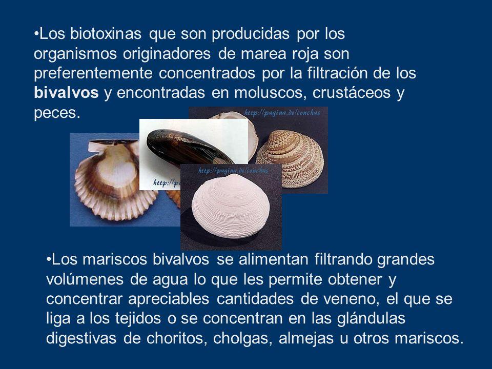 Los biotoxinas que son producidas por los organismos originadores de marea roja son preferentemente concentrados por la filtración de los bivalvos y encontradas en moluscos, crustáceos y peces.
