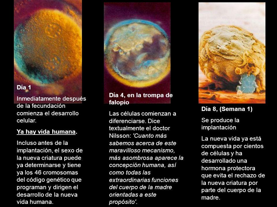 Día 1 Inmediatamente después de la fecundación comienza el desarrollo celular. Ya hay vida humana.
