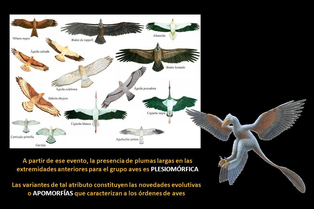 A partir de ese evento, la presencia de plumas largas en las extremidades anteriores para el grupo aves es PLESIOMÓRFICA