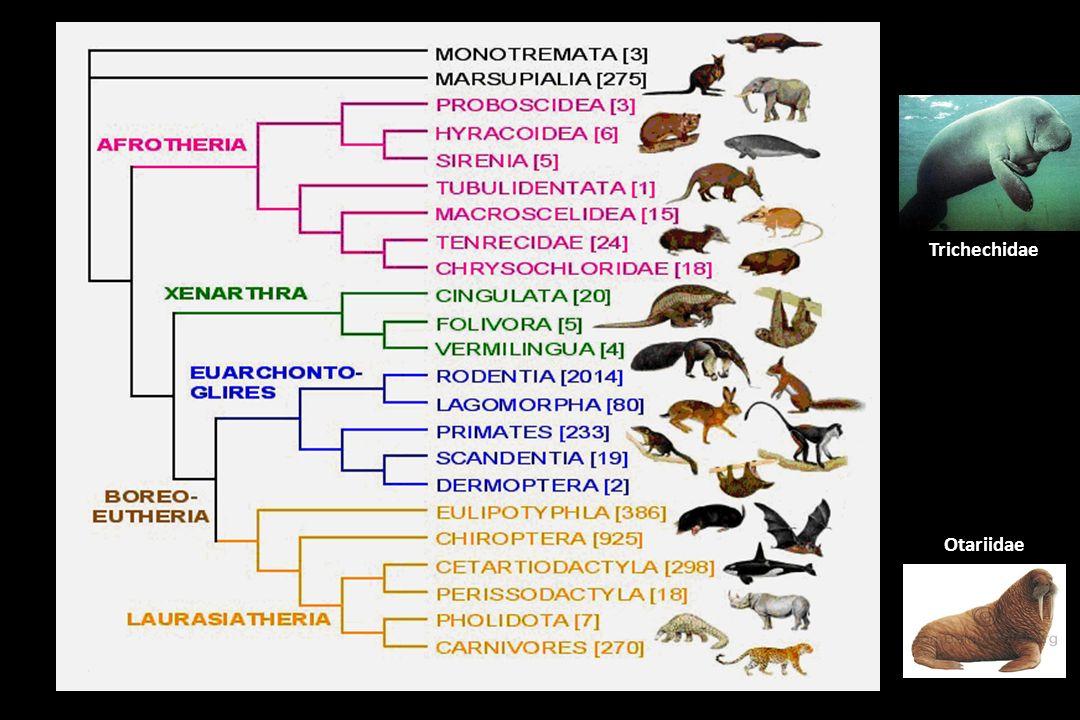 Trichechidae Otariidae