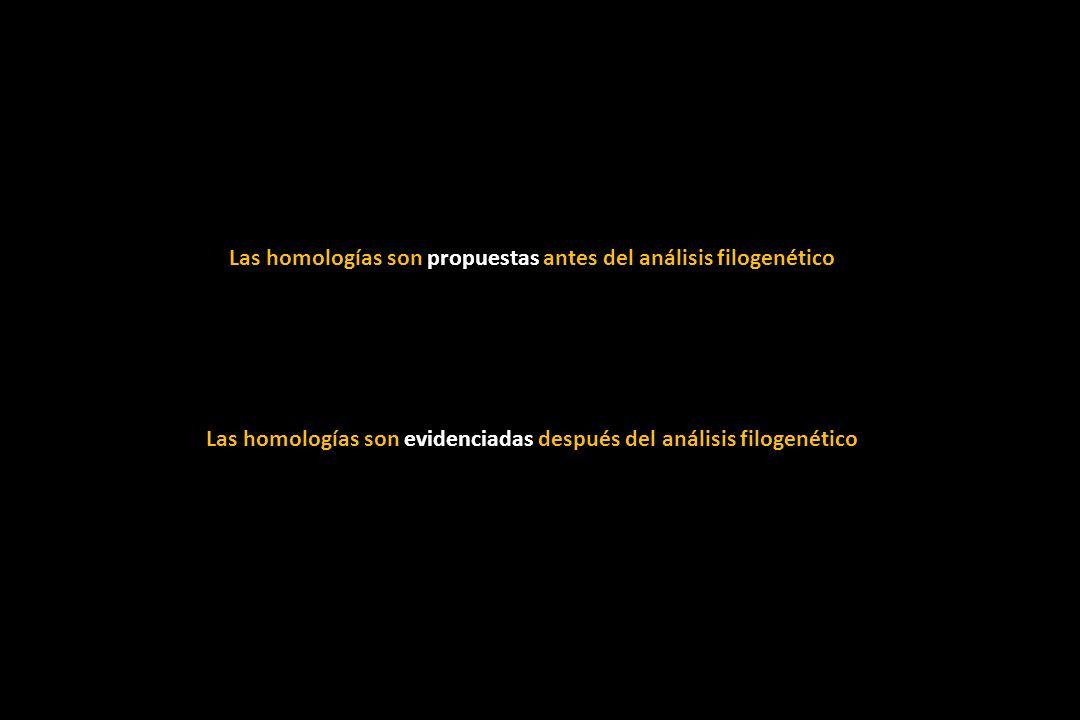 Las homologías son propuestas antes del análisis filogenético