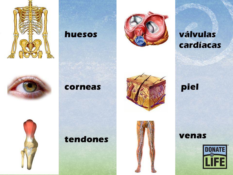 huesos válvulas cardíacas corneas piel venas tendones