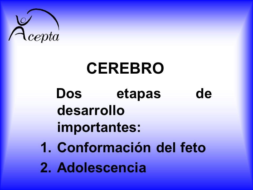 CEREBRO Dos etapas de desarrollo importantes: Conformación del feto