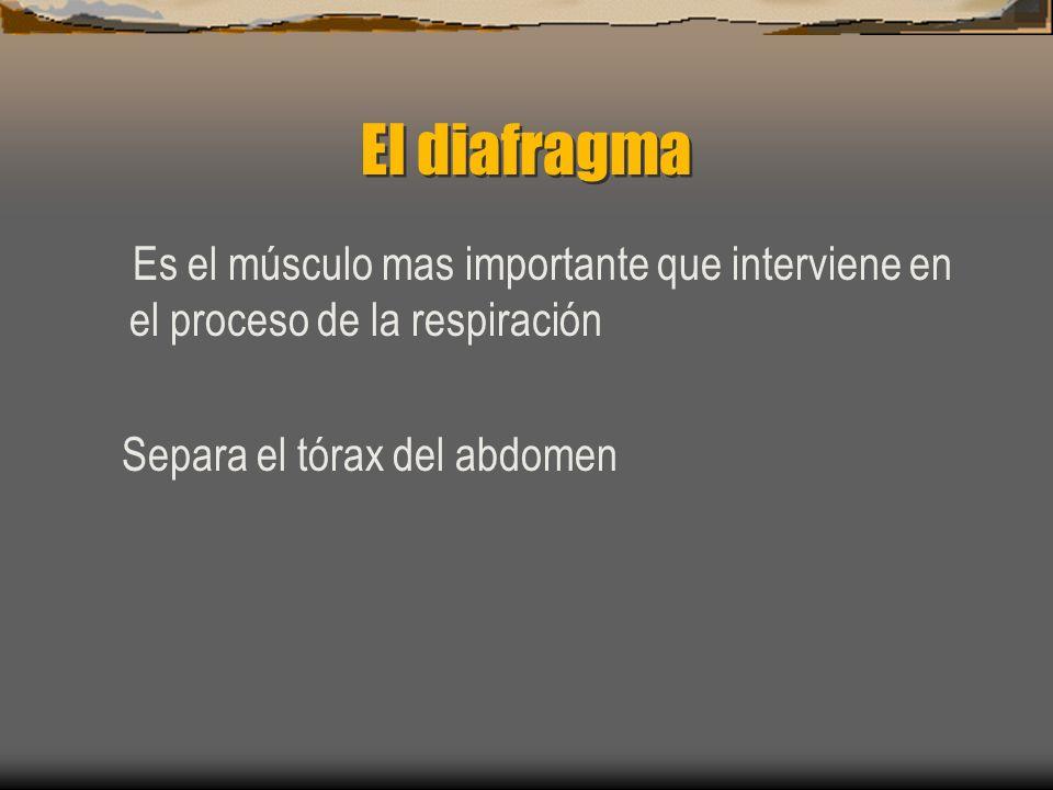 El diafragma Es el músculo mas importante que interviene en el proceso de la respiración.