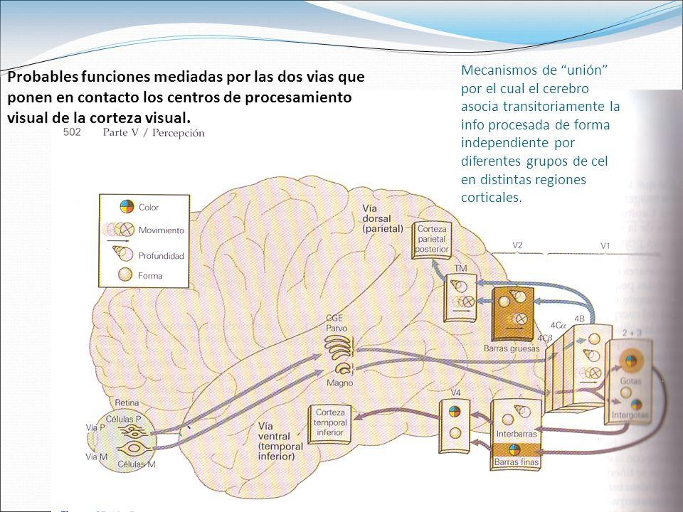 Mecanismos de unión por el cual el cerebro asocia transitoriamente la info procesada de forma independiente por diferentes grupos de cel en distintas regiones corticales.