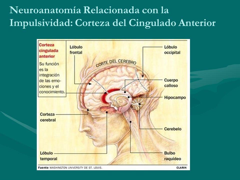 Neuroanatomía Relacionada con la Impulsividad: Corteza del Cingulado Anterior