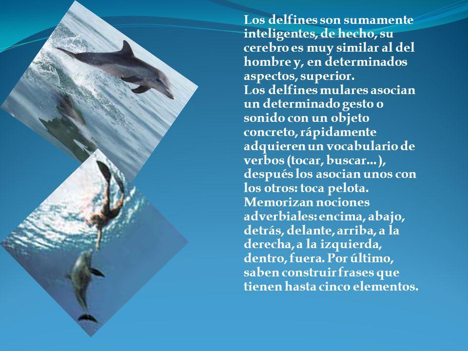 Los delfines son sumamente inteligentes, de hecho, su cerebro es muy similar al del hombre y, en determinados aspectos, superior.
