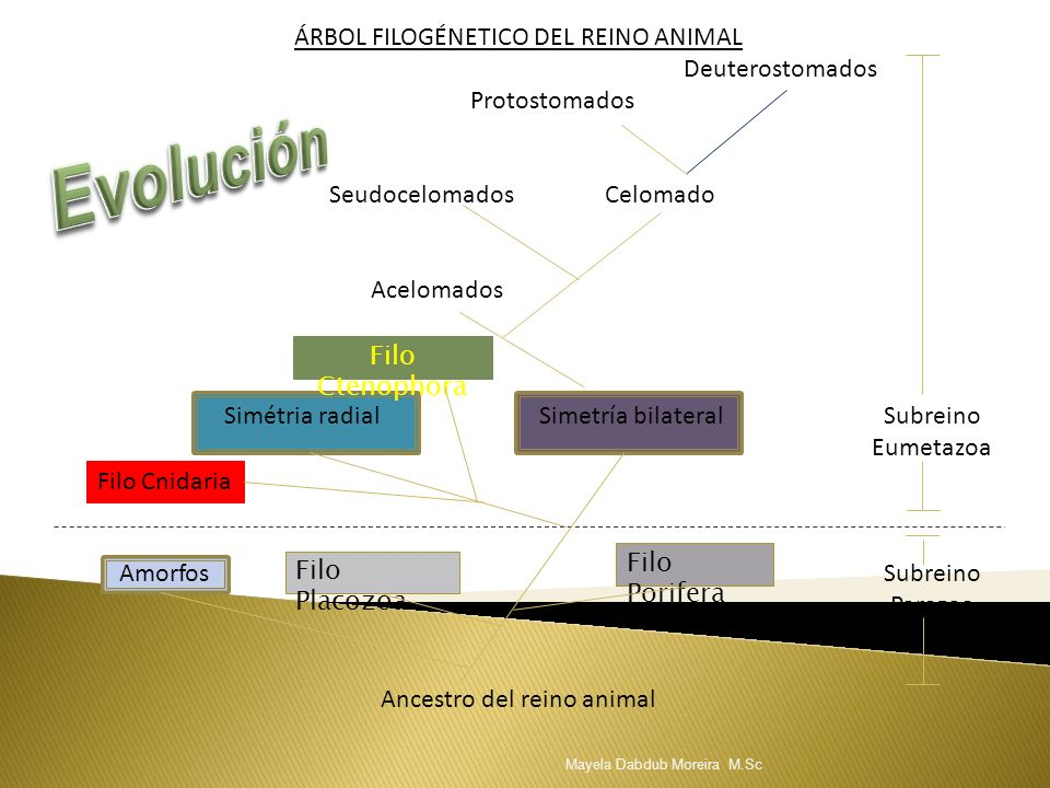 Evolución ÁRBOL FILOGÉNETICO DEL REINO ANIMAL Deuterostomados